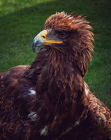 41. Golden Eagle